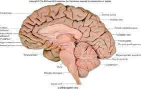 Human Anatomy Images Free Download Human Brain Free Download Clip Art Free Clip Art On Clipart