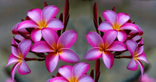 plumeria the quiet ripple defines the pond