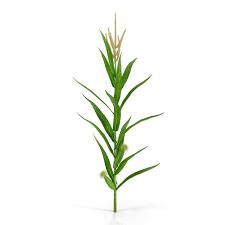 corn stalk 3d models for download turbosquid