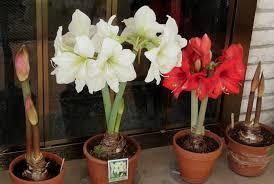 growing amaryllis indoors flowering bulbs indoor flowers