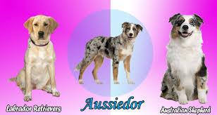 australian shepherd traits australian shepherd lab mix characteristics appearance and pictures
