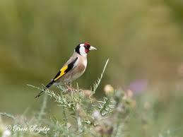birdwatching alentejo portugal european goldfinch putter