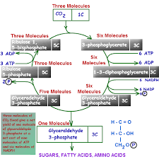 Where Do The Light Independent Reactions Occur Photosynthesis Cycle Photosynthesis Reaction Phases Of