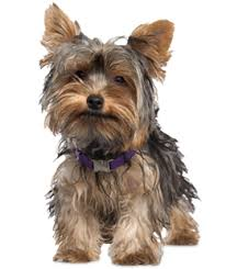 afghan hounds for adoption yorkie puppies yorkie rescue and adoption near you