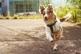 australian shepherd 1 jahr kaufen australian shepherd partner hund magazin