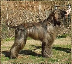 afghan hound national 2014 puppies afghan hound aaawww afghan hound showdogs puppies hosanna