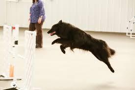 belgian sheepdog nc 2013 oconomowoc wi belgian sheepdog club of america