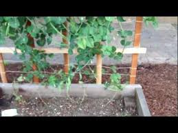 How To Make Trellis For Peas Sugar Snap Peas Pretty Easy To Grow Youtube