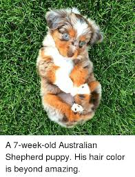 australian shepherd puppies 7 weeks 25 best memes about australian shepherd puppy australian