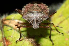 the next six weeks are going to be mayhem u0027 stink bugs invade