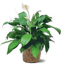 Lily Plant Peace Lily Plants This Easy To Care For Plant Is The