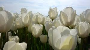 white tulips tulips white tulip fields bulb free photo on pixabay