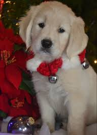 available english cream golden retriever puppies pictures