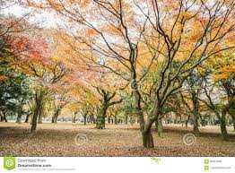 tree leaves in the park change color to orange and stock photo