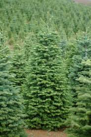 noble fir christmas tree noble fir christmas tree between 9 11 in san mateo ca