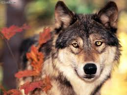spirit guide meaning interpretation the wolf hubpages