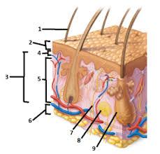 Human Anatomy Integumentary System Integumentary System Human Anatomy Bio 233 With Dr Hartney At