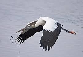 florida wood wood stork mycteria americana