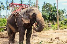 Five Blind Men And The Elephant Why Elephant Riding Should Be Removed From Your List