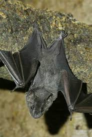 As Blind As A Bat Meaning The Art And Science Of Bats Smithsonian Institution
