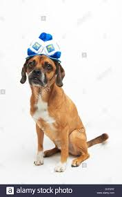 chanukah hat puggle in hanukkah hat stock photo 52585099 alamy