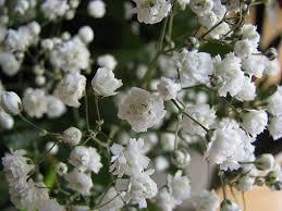 bulk baby s breath 500 bulk seeds baby s breath easy to grow great as a