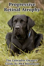 Causes Of Sudden Blindness In Dogs Pra Progressive Retinal Atrophy In Dogs The Labrador Site