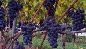 hybrid grape wikipedia