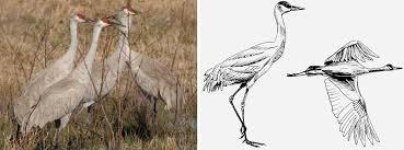 sandhill crane u2014 texas parks u0026 wildlife department