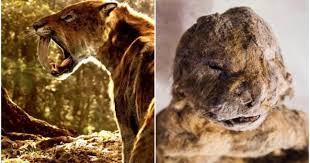 pics scientists plan clone extinct siberian cave lion joe uk