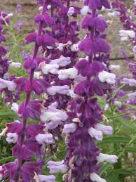 Salvia Flower Butterfly Plants List Butterfly Flowers And Host Plant Ideas