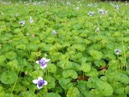 native florida plants flowering ground covers miss smarty plants