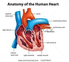 Diagram Heart Anatomy Part Human Heart Anatomy Stock Vector 364774574 Shutterstock