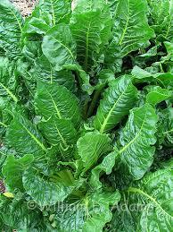 texas salad garden