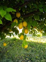 got citrus learn how and when to fertilize birds and blooms