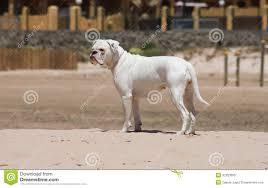 boxer dog white white boxer dog playing at the beach stock photo image 42323095