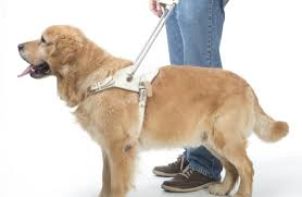 How Does A Guide Dog Help A Blind Person Young Post Meets The Hong Kong Guide Dogs Association And Takes A
