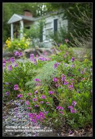 Rock Garden Seattle Shrubby Penstemon In Rock Garden W Home Soft Bkgnd Penstemon