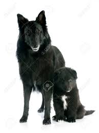 belgian sheepdog white picture of a puppy and belgian sheepdog groenendael stock