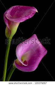 purple calla purple calla stock images royalty free images vectors