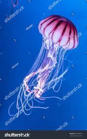 pacific sea nettle chrysaora melanaster jellyfish stock photo