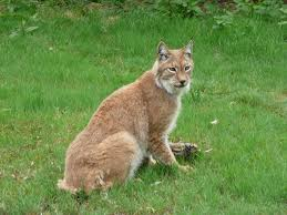Connecticut wild animals images File lynx lynx with meat in howletts wild animal park jpg jpg