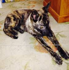 belgian sheepdog puppies for sale in florida dutch shepherd puppies for sale aachen dutch shepherds