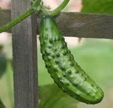 Cucumber Spacing On Trellis Growing Cucumbers Thriftyfun