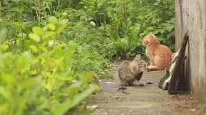 Cats In Small Spaces Video - male macaque search louse in female animal fur monkey family on