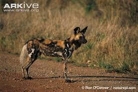 safari ltd african wild dog african wild dog lycaon pictus
