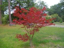 pruning japanese maples when and how to prune a japanese maple