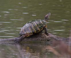 Texas Map Turtle Freshwater Turtles Misconceptions And Commercial Collection