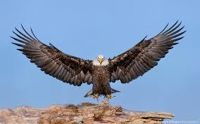 stellers sea eagle wallpapers stellers sea eagle 4213426 1600x1200 all for desktop