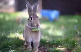 domestic bunny wild friends animal society